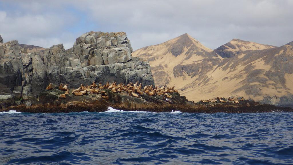 stella fur seals