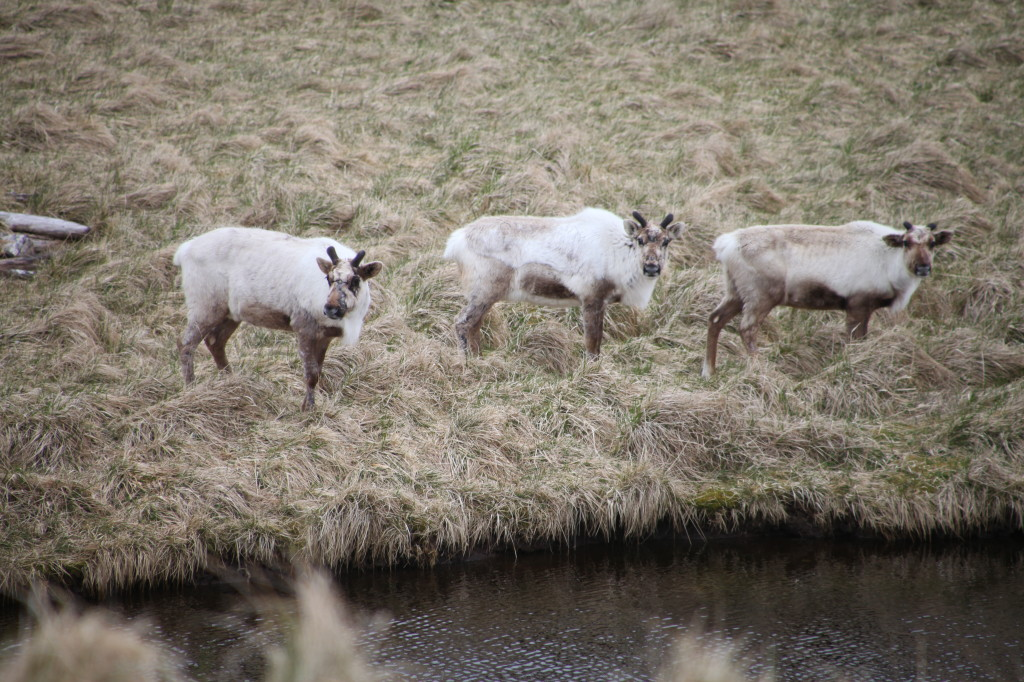 Reindeer on Akta