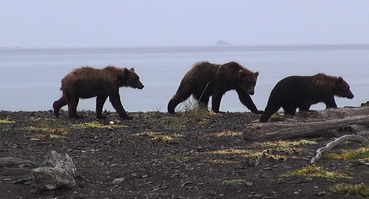Bears galore in Alaska